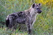 Hyena in the early morning light