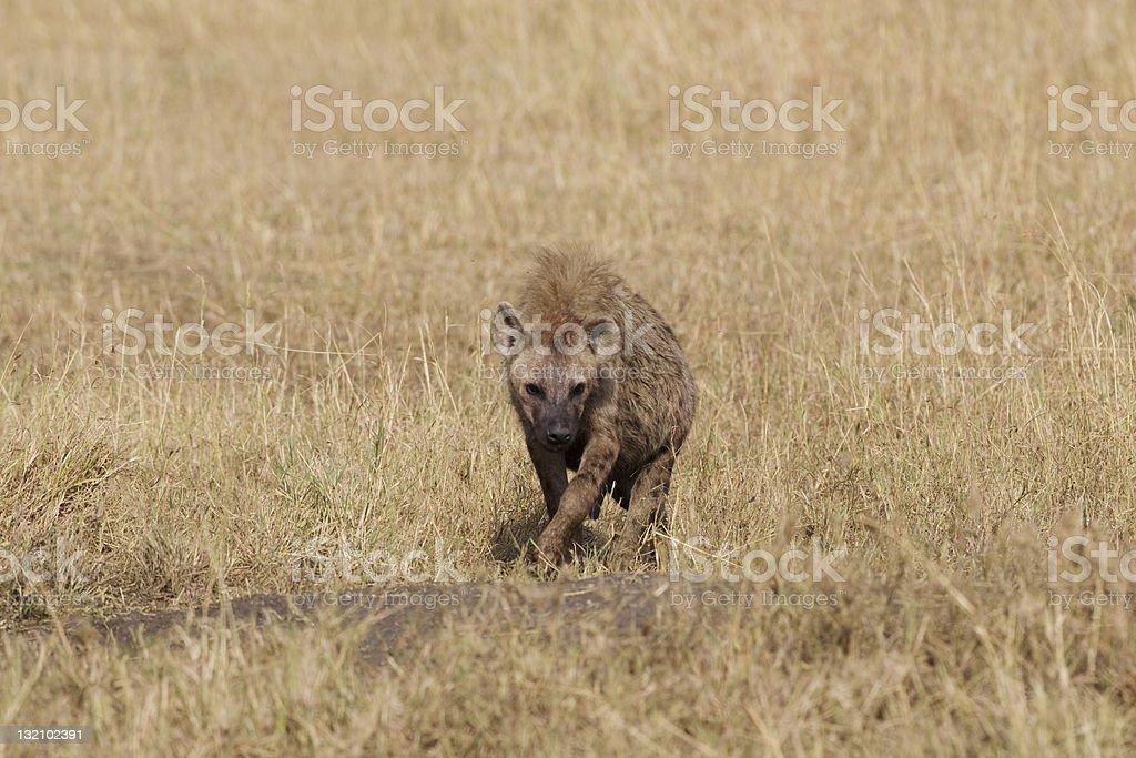 Hyène du Masaï Mara photo libre de droits