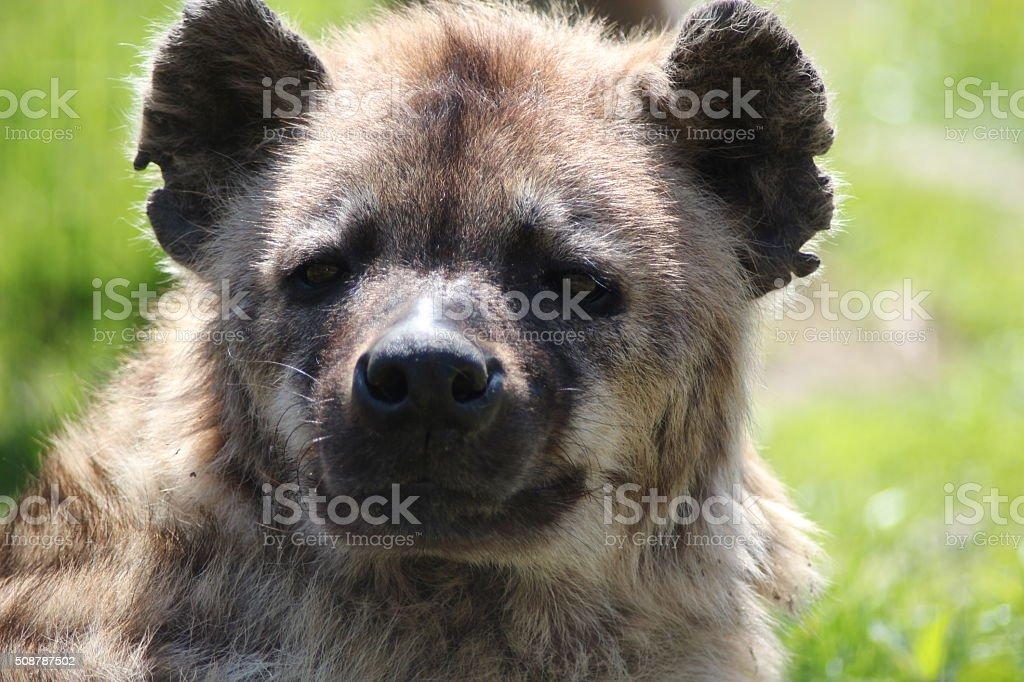Hyena is resting stock photo
