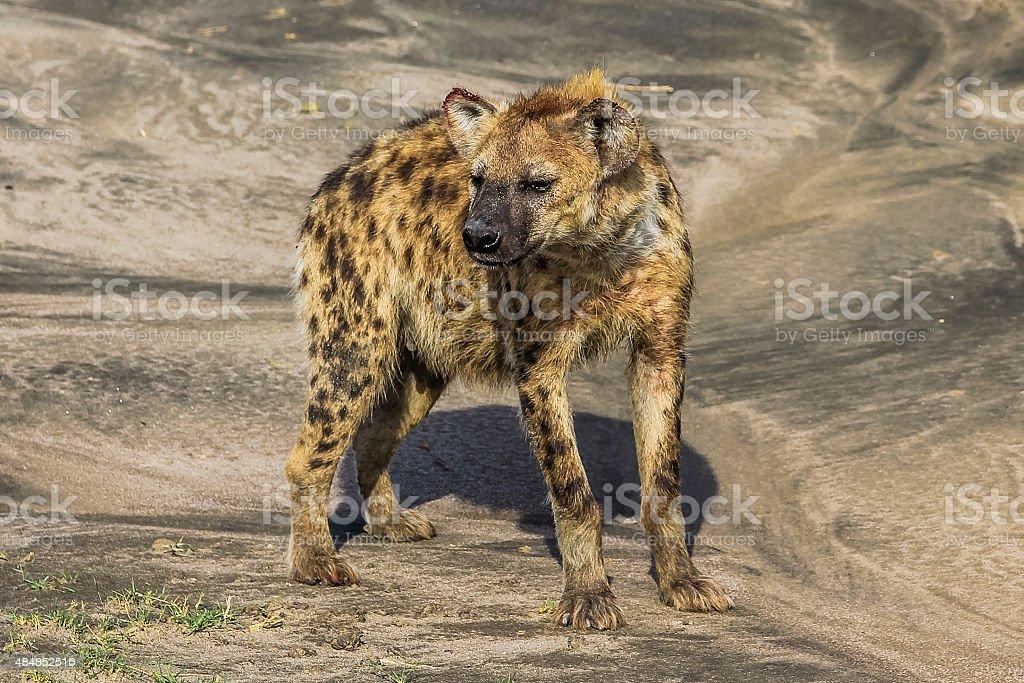 Hyena lying stock photo