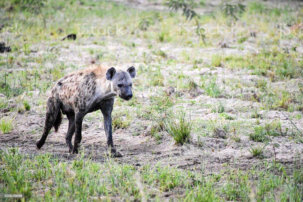 Hyena on the prowl stock photo