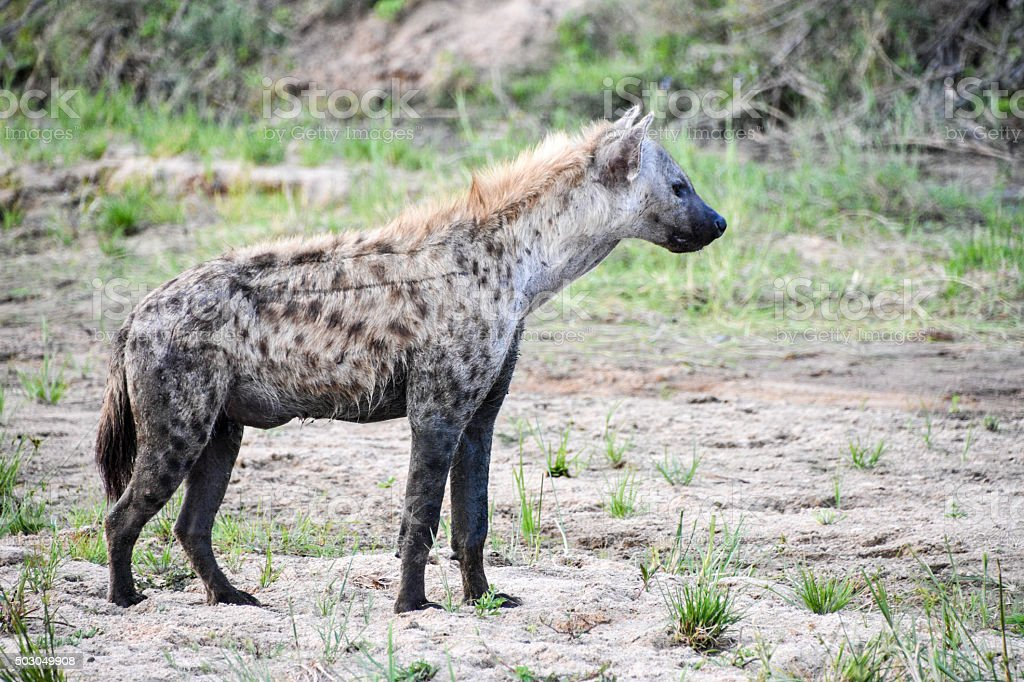 Hyena on the prowl stock photo