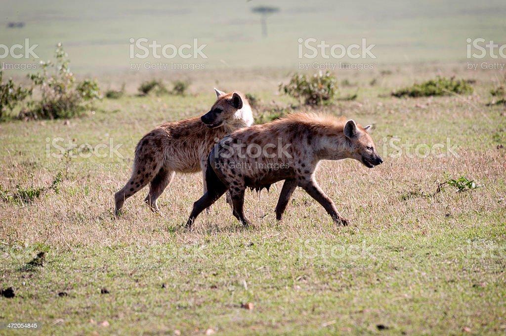 Hyena royalty-free stock photo