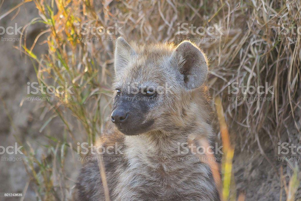 Hyena pup at a den 1 stock photo