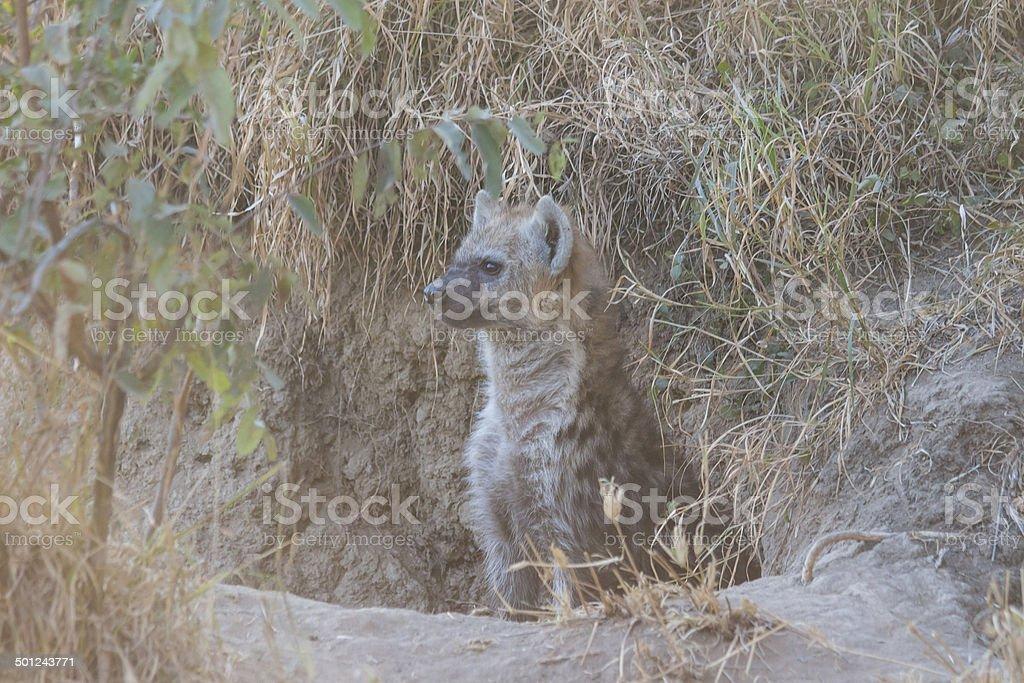 Hyena pup at a den 2 stock photo