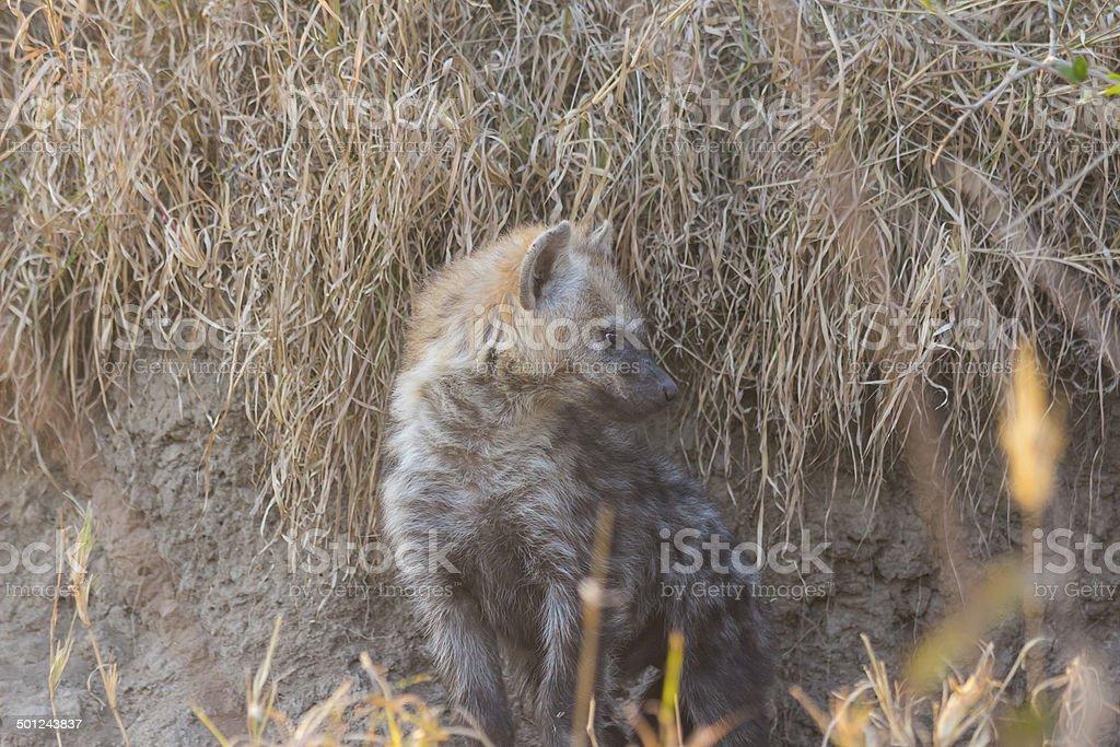Hyena pup at a den 3 stock photo