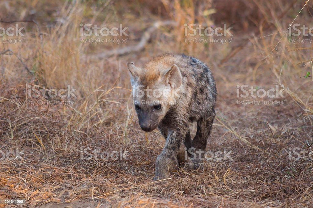 Hyena pup slowing walking forwards 1 stock photo