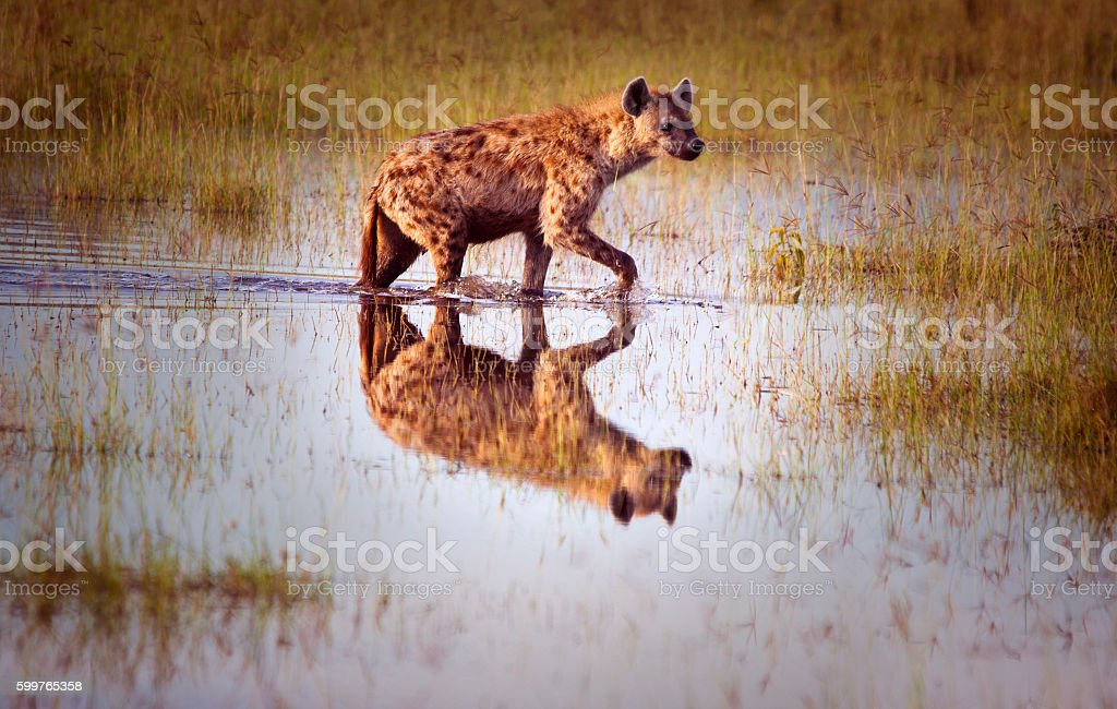 Hyena reflection stock photo
