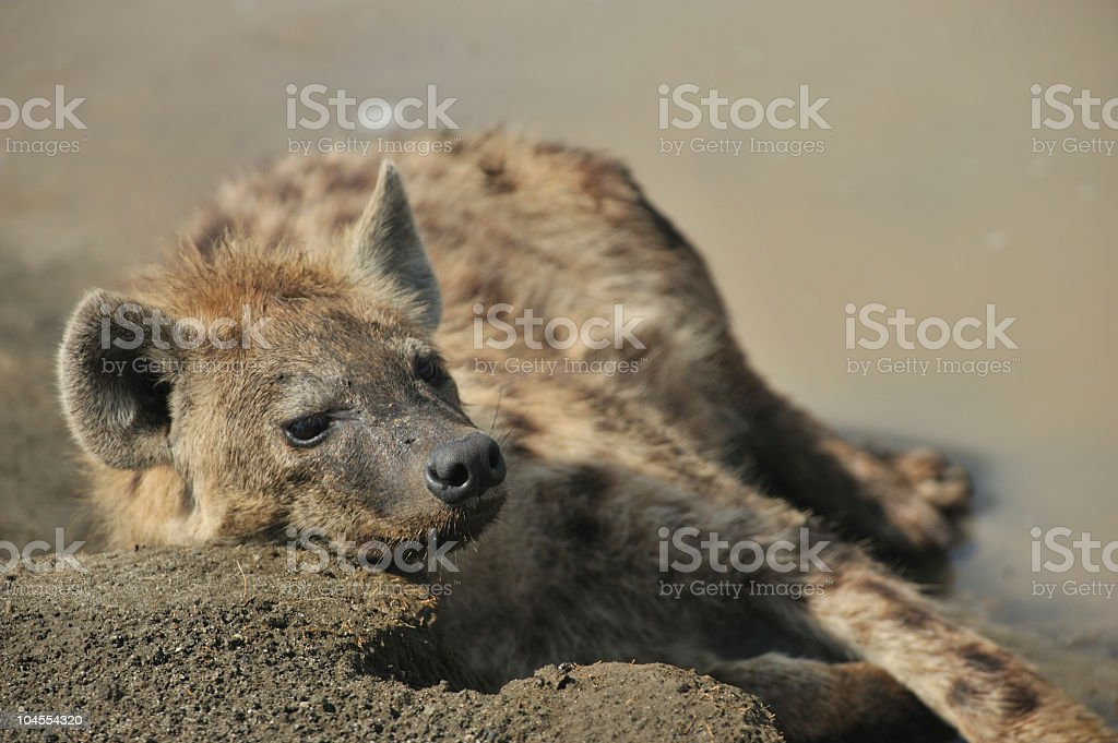Hyena resting in stream stock photo