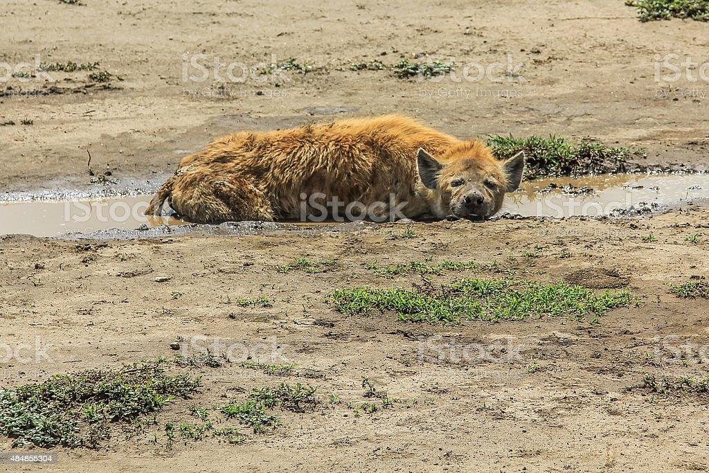 Hyena resting stock photo