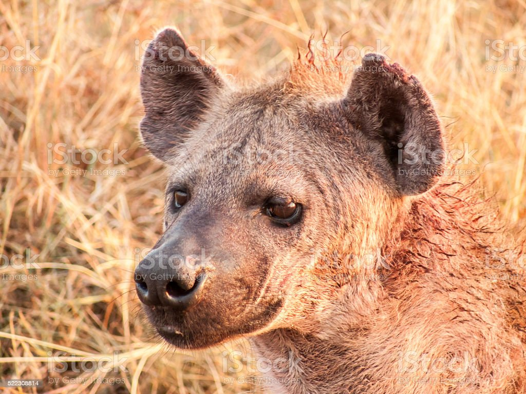Hyena returning to den from nights hunting stock photo