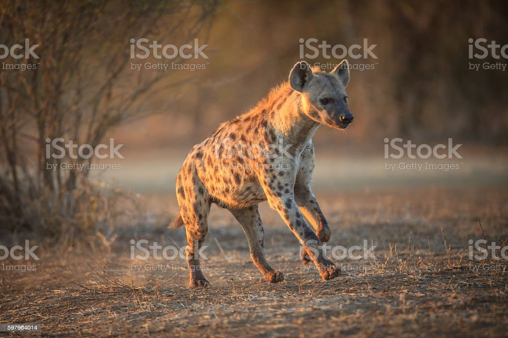 Hyena running in the Kruger National Park stock photo