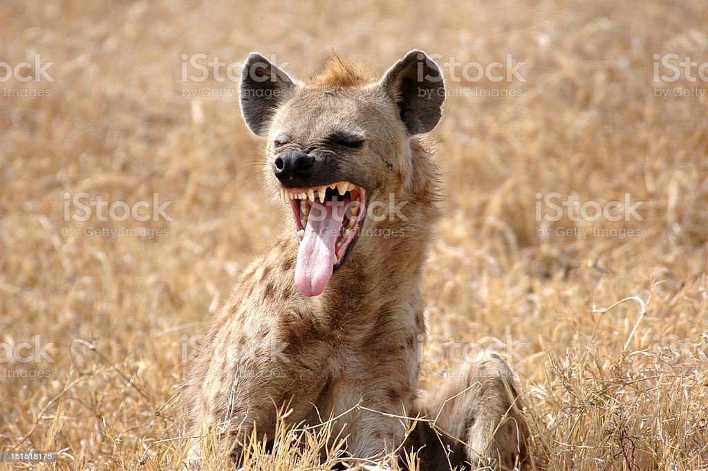 Hyena showing Tongue stock photo