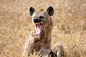Hyena showing Tongue