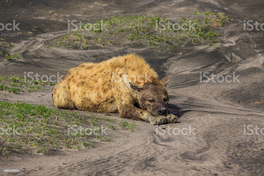 Hyena sleeping stock photo