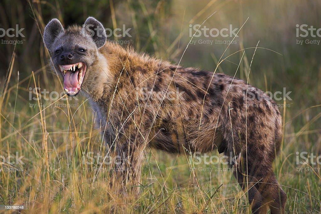 Hyena snarling royalty-free stock photo