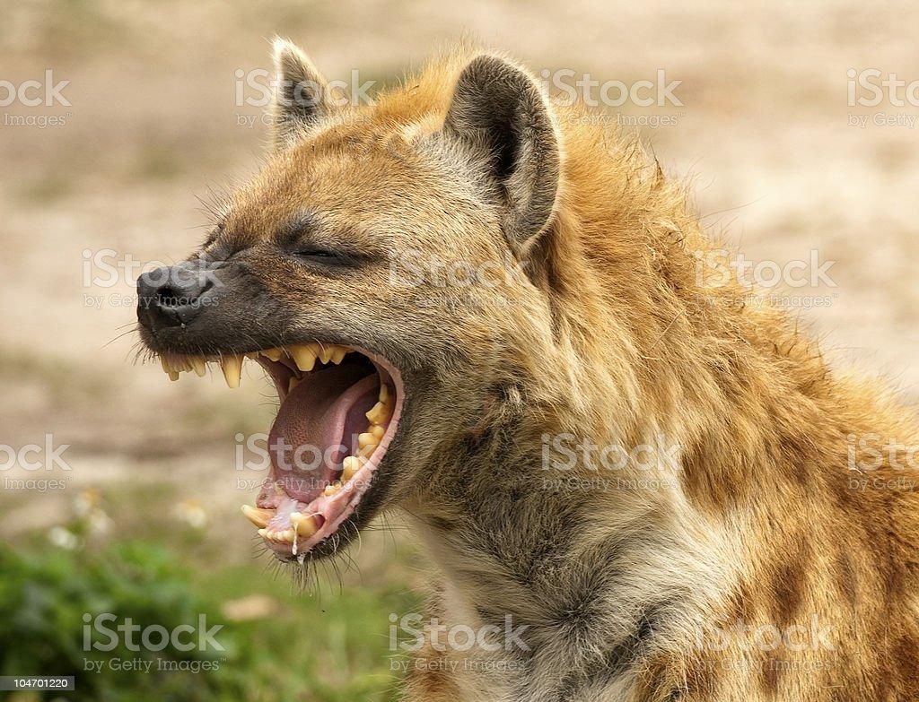 Hyena Strong Jaws stock photo