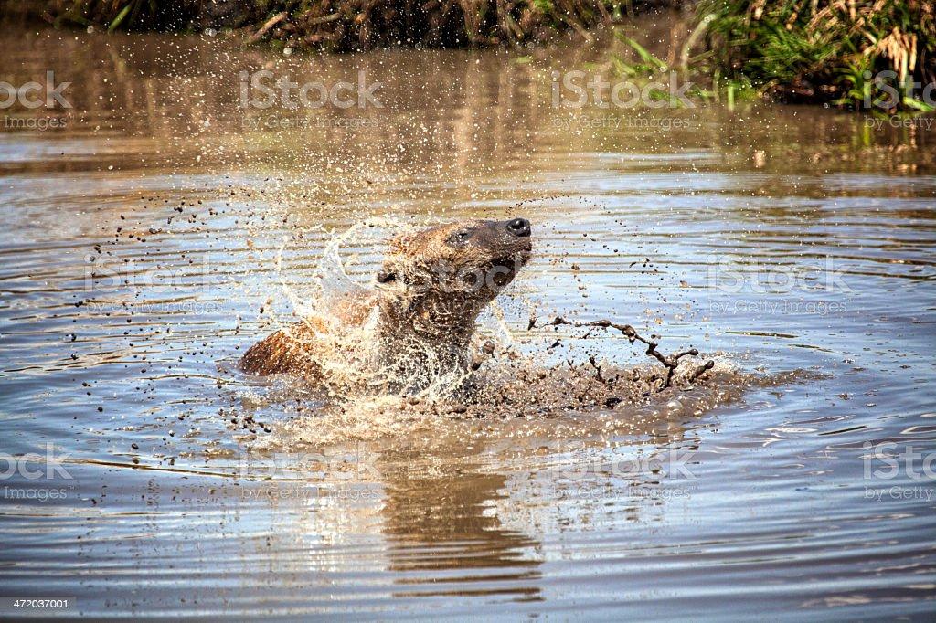 Hyena taking a bath: Serengeti, Tanzania stock photo