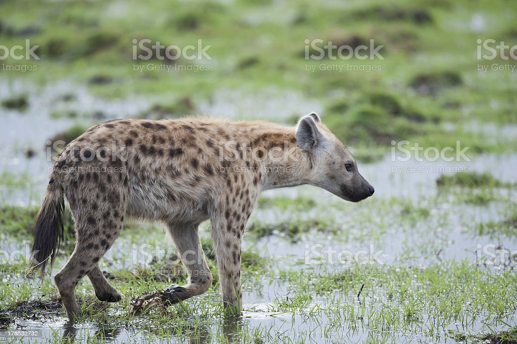 Hyena walking in the Savannah royalty-free stock photo