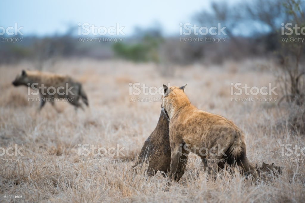 Hyena with prey stock photo