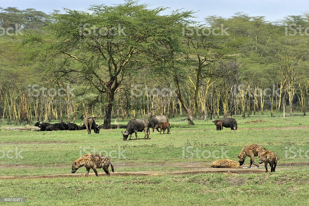 Hyenas and buffaloes in forest, Nakuru stock photo