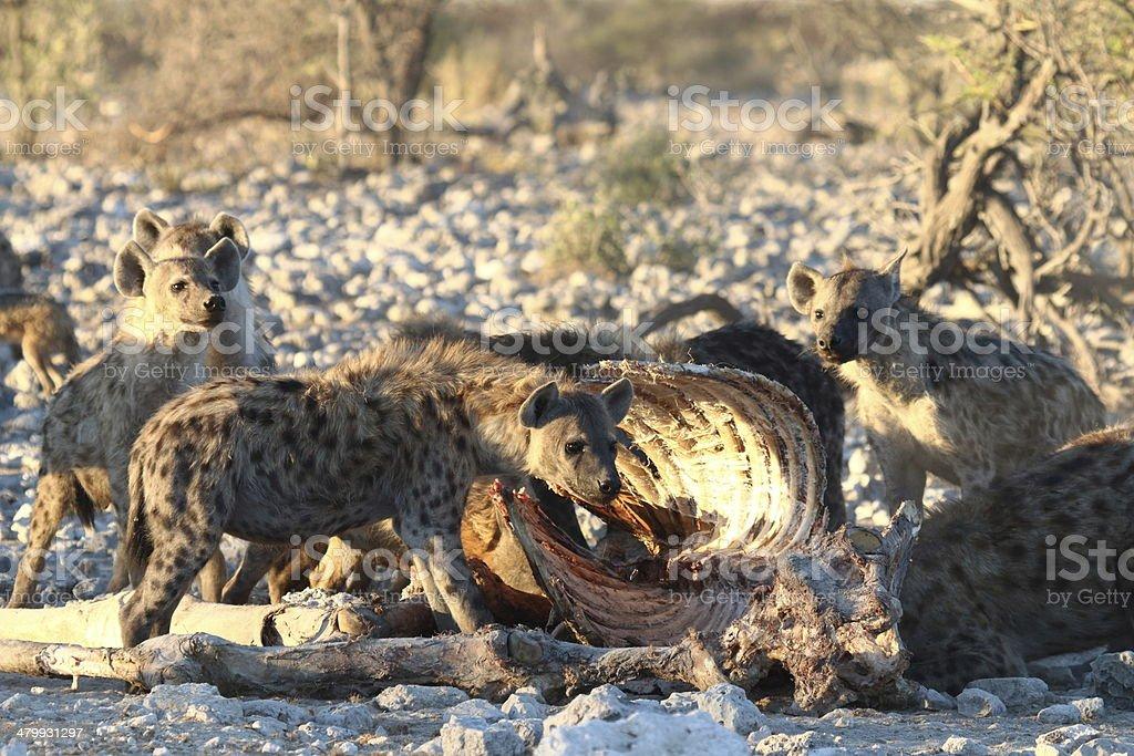 Hyenas at Giraffe carcass, Namibia royalty-free stock photo