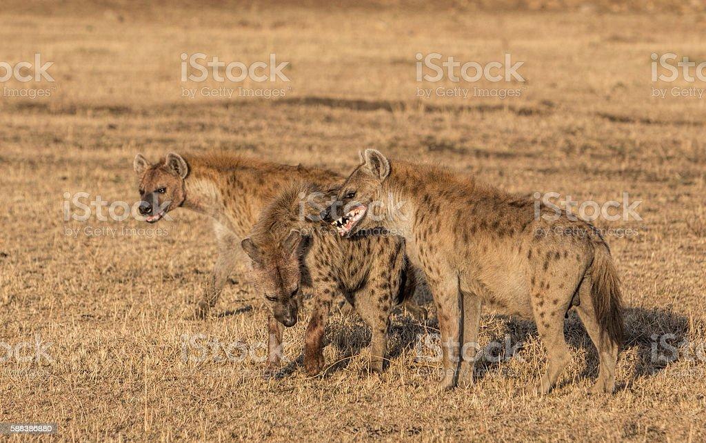 Hyenas on the dry savannah, Masai Mara, Kenya, East Africa stock photo