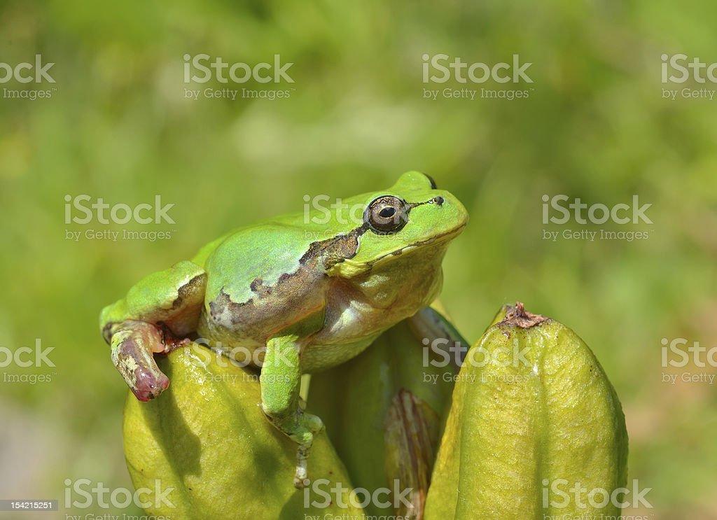 Hyla (tree toad) royalty-free stock photo