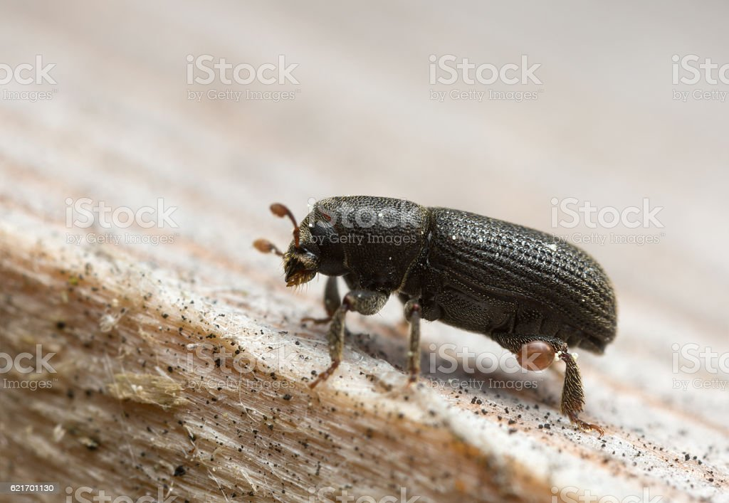 Hylastes barkbeetle on wood stock photo