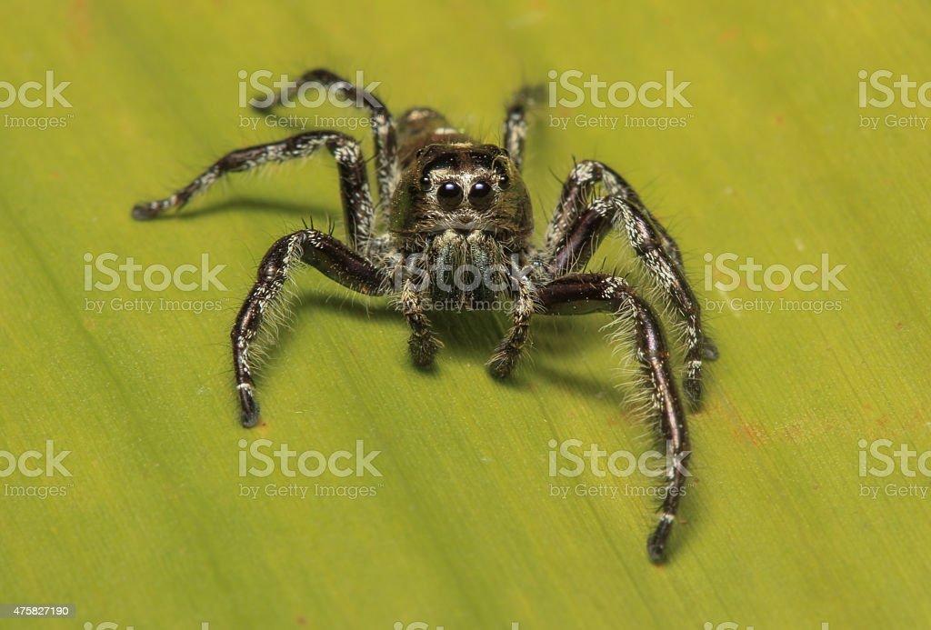 Hyllus diardi Jumping Spider stock photo