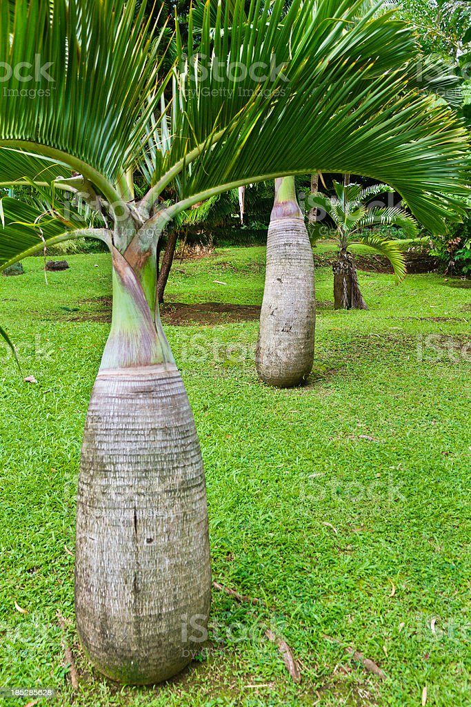 Hyophorbe lagenicaulis, Bottle Palm stock photo