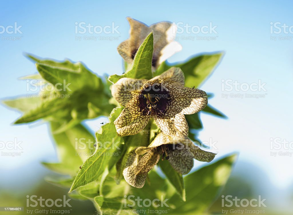 Hyoscyamus toxic stock photo