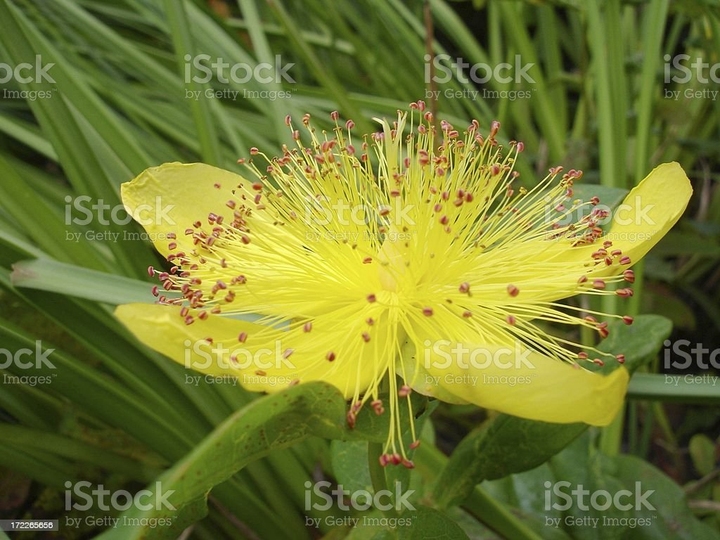Hypericum calycinum royalty-free stock photo