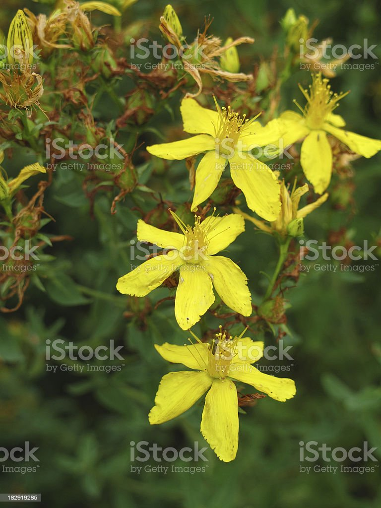 Hypericum perforatum in the meadow royalty-free stock photo