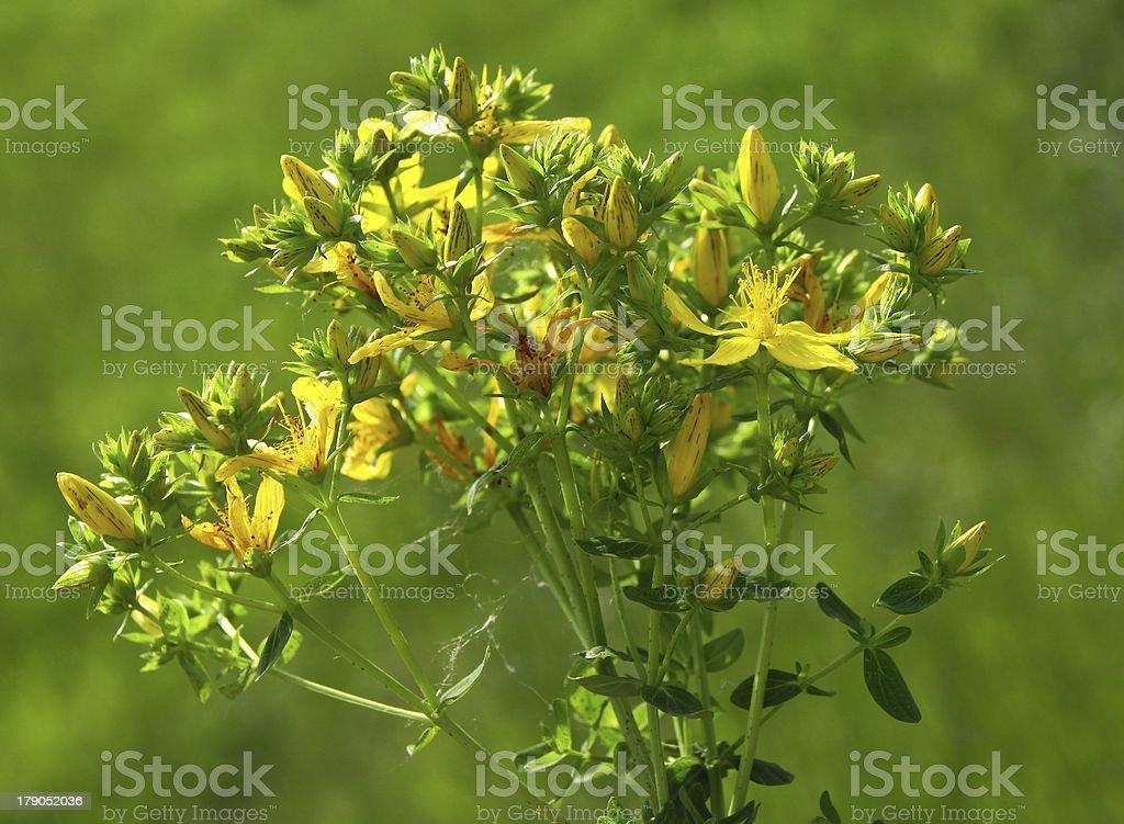 hypericum perforatum plant blooming royalty-free stock photo