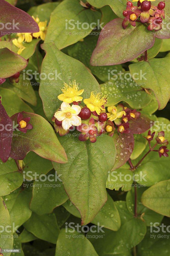 Hypericum Plant royalty-free stock photo