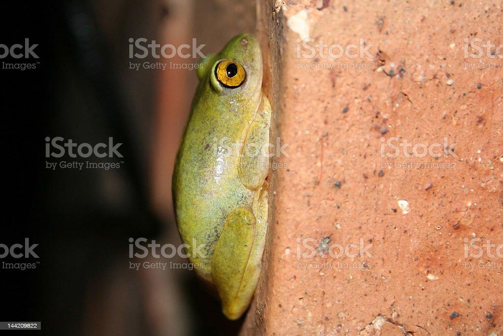 Hyperolius marmoratus, Painted Reed Frog stock photo