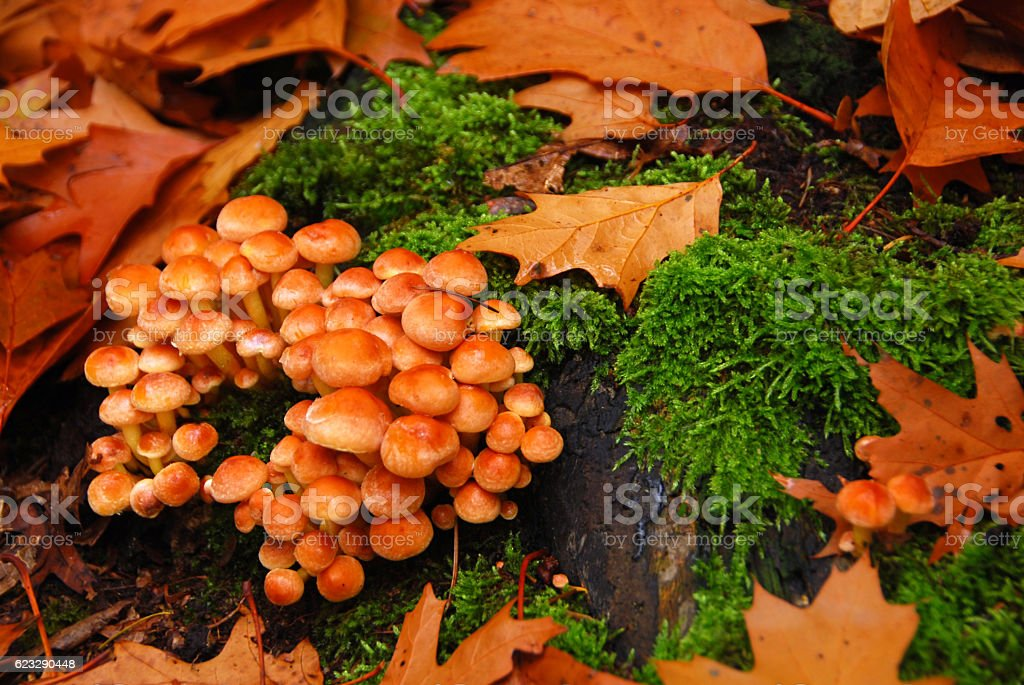 Hypholoma fasciculare between the falling oak leafs. stock photo