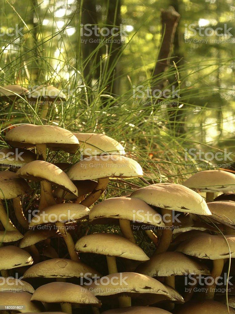 Hypholoma fasciculare stock photo