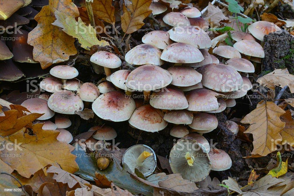 Hypholoma sublateritium on oak stump stock photo