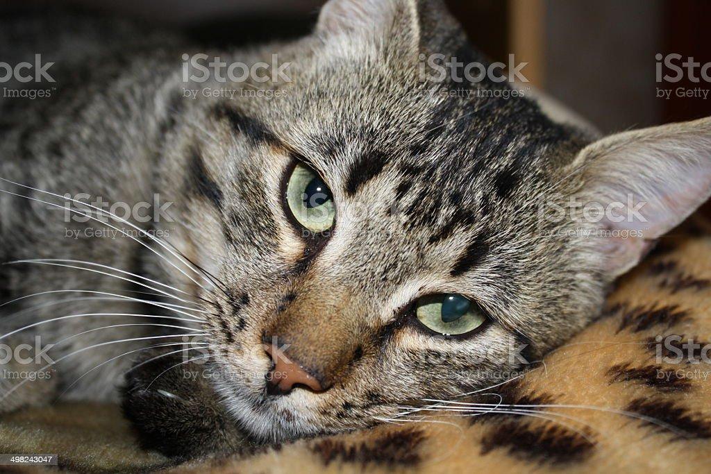 Hypnotische Katze Augen Lizenzfreies stock-foto