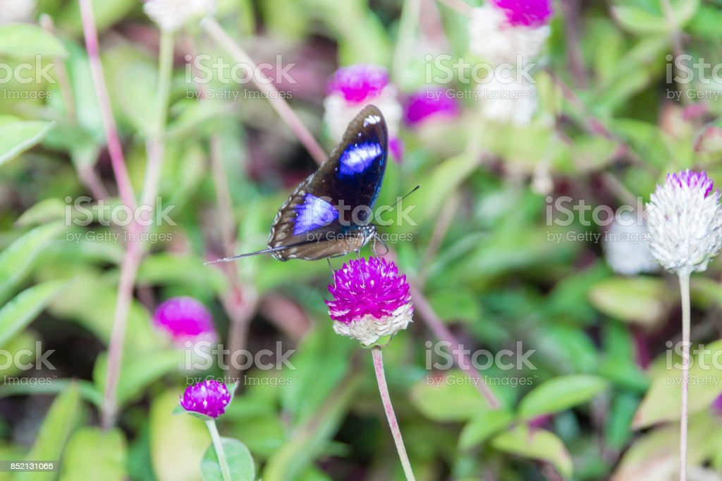 Hypolimnas bolina, the great eggfly, the blue moon butterfly, India, Kerala stock photo