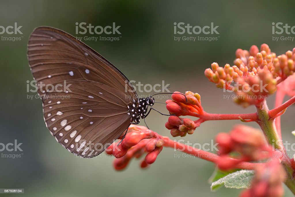 Hypolimnas butterfly on flower stock photo