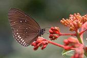 Hypolimnas butterfly on flower