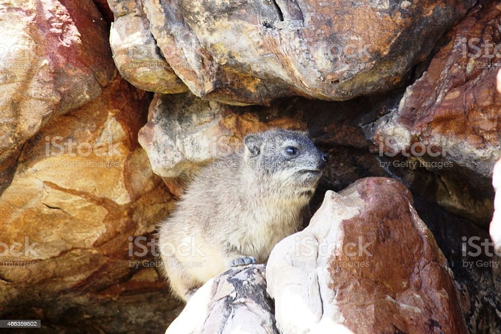 Hyrax at Cape Point near Cape Town South Africa stock photo