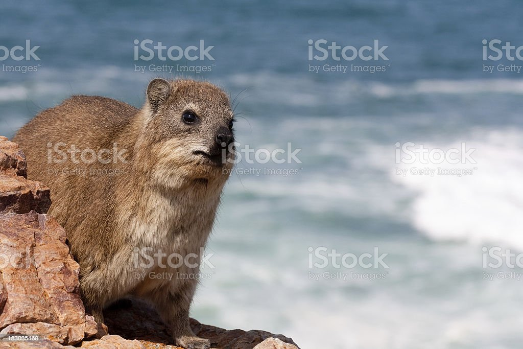 Hyrax with ocean stock photo