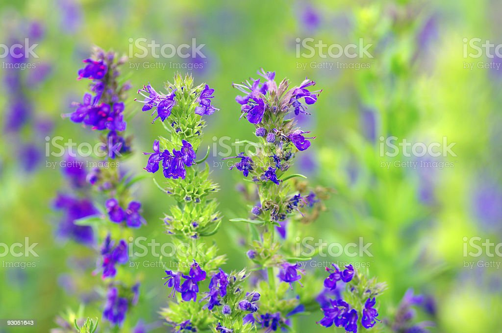 Hyssop plant royalty-free stock photo