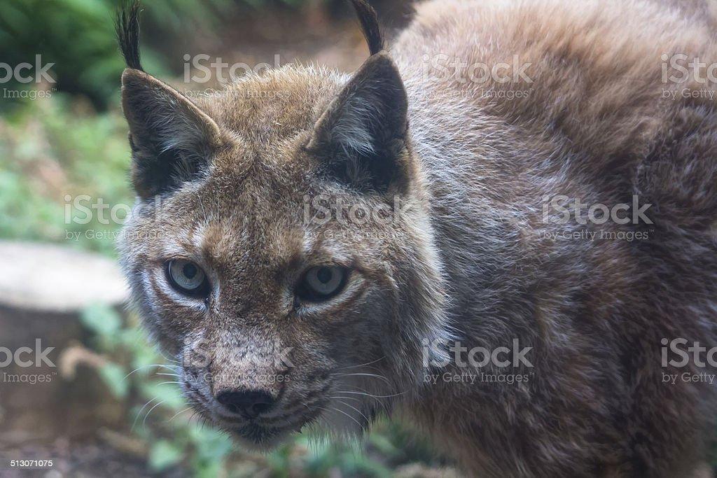 Iberian lynx bonito in the field stock photo
