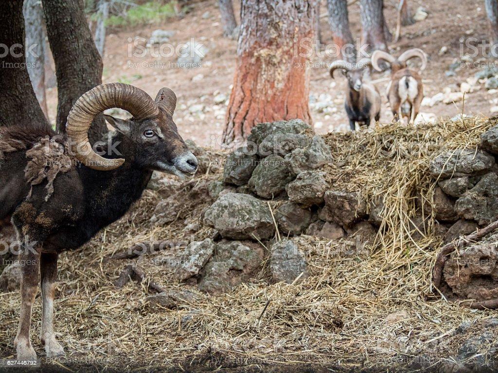 Iberian mouflon (Ovis orientalis musimon) stock photo