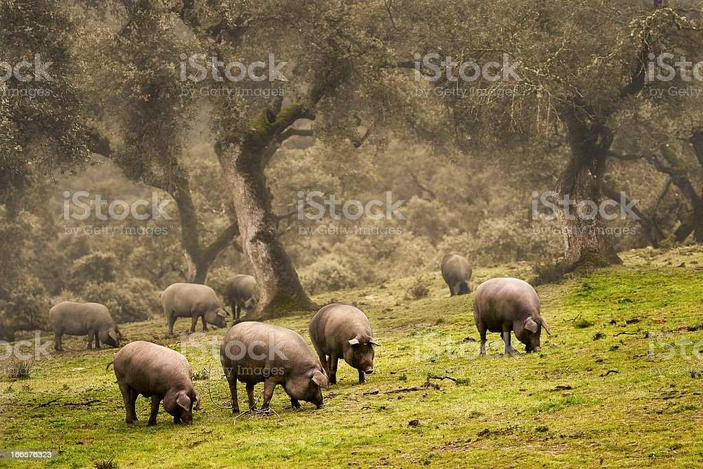 Iberian pig in the meadow stock photo